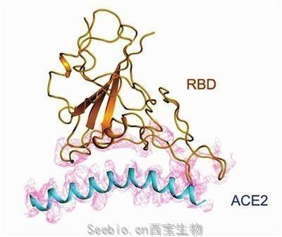 RBD蛋白(Fc Tag)