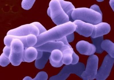 克氏梭菌Clostridium│kluyveri