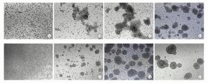 人脂肪来源的原代干细胞cDNA;Human Adipose: Adipose Stem Cell Derivatives产品图片