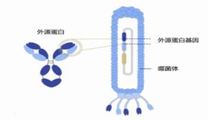 人源抗体噬菌体文库制备服务